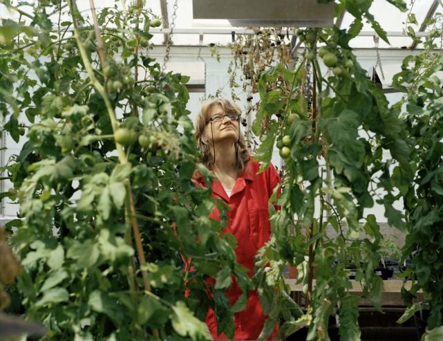 Доктор Кэти Мартин следит за процессом роста генетически модифицированных томатов.