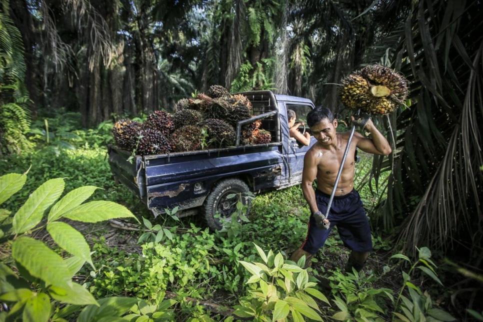 Индонезийский рабочий собирает плоды масличных пальм, из которых добывают масло. Индонезия – мировой лидер в этой области. Не на много от нее отстает Малайзия.