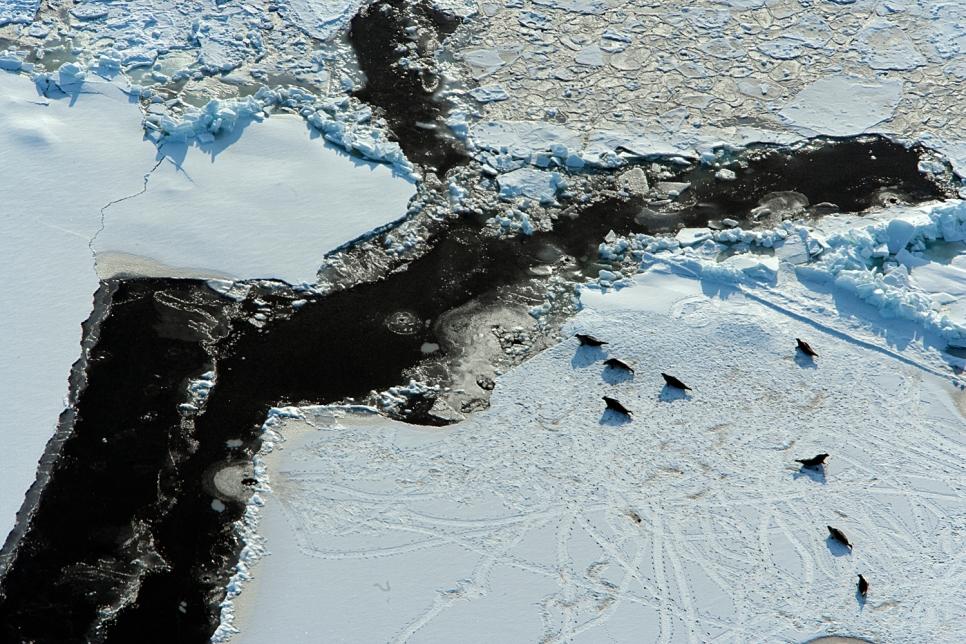 Тюлени, Белое море