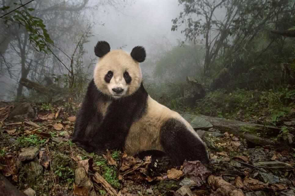 Ye Ye, 16-летняя панда в заповеднике Wolong. Иероглифы в ее имени ознают Японию и Китай. Ее назвали в честь дружбы между двумя странами.