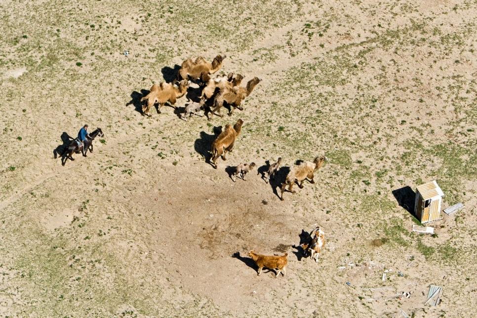 Верблюды, Астраханская область