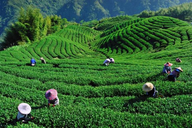 Картинки по запросу как растет Чай